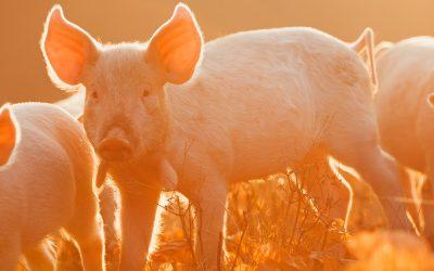 Das erwartet dich 2019 im Jahr des Erd-Schwein